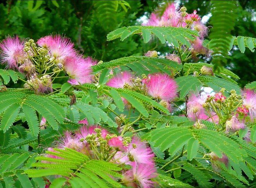 Mimosa Hostilis is a great medicinal plant